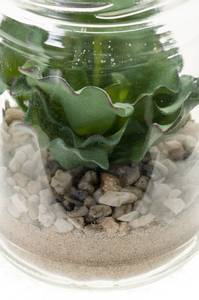 Bilde av Kunstig Echeveria i Glass 13cm