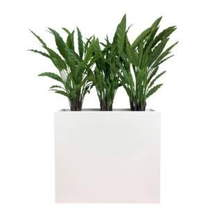 Bilde av Komplett Plantekasse - 3 stk Calathea planter